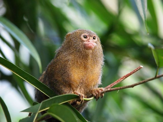 Finger Monkey Facts Pygmy Marmose Sale on intelligent life species